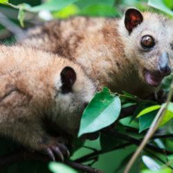 Opossum Brüder