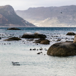 A couple of Boulders Beach-based jackass penguins swimming in False Bay being staged by the landscape of southern Cape Peninsula