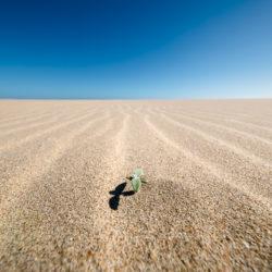Sprößling durchbricht die Sanddünen des Schutzgebiets von Goukamma in Südafrika