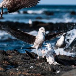 Zwei jugendliche Mittelmeermöwen zoffen sich um Revier und Futter (nicht im Bild)