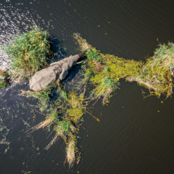 Drone image of an elephant bull Elefantenbullen in the Okavango Delta