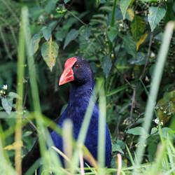Maori Hühnchen