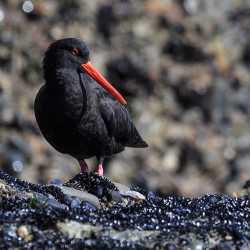 Southern Oyster Catcher