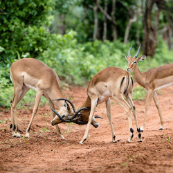 Fighting Impala Bucks