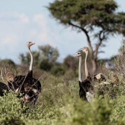 African Ostrich