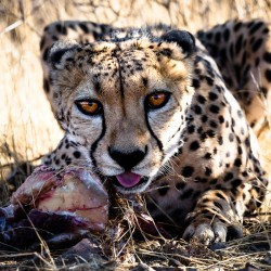 Young Cheetah eating